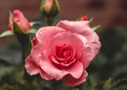Rose Water Toner Spray